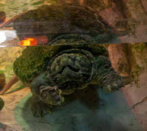 Alligator Snappping Turtle